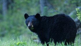 Medvěd baribal se dříve ukládal k dlouhému zimnímu spánku. Dnes už si dává spíše jen malého šlofíka
