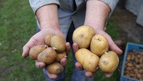 Letošní úroda brambor bude výrazně horší než ta loňská.