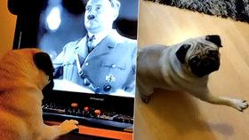 Muž ze Skotska udělal z roztomilého mopse malého nacistu.