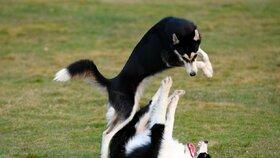 Ověřte si raději dopředu, že je váš pes schopný si nekonfliktně hrát s ostatními.