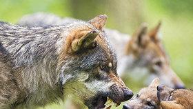 V Česku žije vlků jen několik desítek, ale farmáři je vnímají intenzivně.