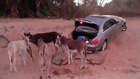 Pašeráci k přepravě kontrabandu využívají osly.