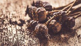 Česko platí za světovou velmoc ve výrobě potravinářského máku.
