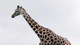 """Žirafí samec Enjoy z ústecké zoologické zahrady je stále """"na odstřel""""."""