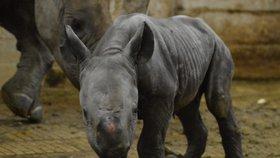 V zoo ve Dvoře Králové se narodila nosorožčí samička.