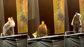 Hnus v cirkuse! Medvěd napadl muže, který ho drezuroval, ten ho zmlátil a donutil dokončit vystoupení.