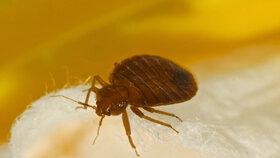 Štěnice mají ploché oválné žlutohnědé nebo červenohnědé tělo s třemi páry nohou, na hlavě tykadla.