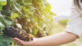 Vydejte se za dobrým svatomartinským vínem!