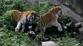 V Rusku potrhal tygr ošetřovatelku.