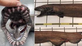 V portugalském moři našli extrémně vzácného prehistorického žraloka.