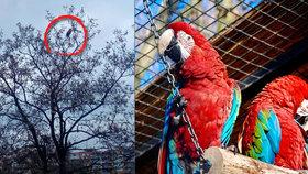 Červenomodrý holub? Kdepak! Na stromě v Bohnicích posedával papoušek, venčil ho páníček