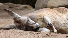 Klokani v Austrálii hynou ve velkém kvůli záhadné chorobě. (ilustrační foto)