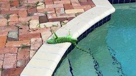 Jeden ze ztuhlých leguánů z Floridy.