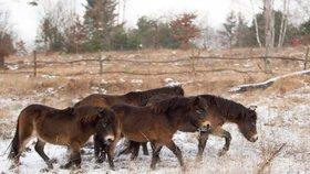 Mladí divocí koně z Milovic už běhají v rezervacích ve východních Čechách.