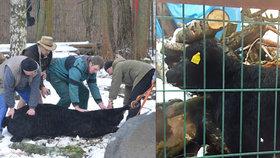 Mladá kráva v Jihlavě utekla z jatek: V centru srazila důchodkyni a zamířila do zoo.