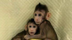 Čínští vědci jako první zvládli naklonovat primáty. Dva totožní makakové se jmenují Čung Čung a Chua Chua