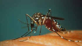 Žlutou zimnici přenášejí hlavně komáři
