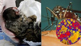 V Brazílii řádí žlutá zimnice, přenáší jí komár. Ukazatelem nákazy jsou uhynulé opice.