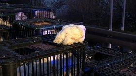 Některá kuřata stále v okolí nehody pobíhají.