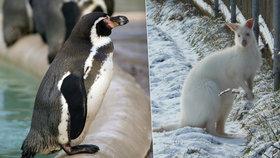 Zatímco klokani si s chladným počasím příliš hlavu nelámají, některé druhy tučňáků, například tučňáka Humboldtova v Praze, musejí chovatelé před chladem zavírat do vnitřních ubikací.
