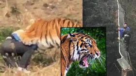 Šetřílek přelezl plot v zoo a spadl mezi tygry: Roztrhali ho před očima manželky a dětí