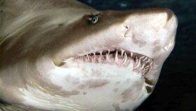 Žralok tygří (ilustrační foto)