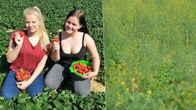 500 tun sladkých plodů zarůstá plevelem. Zachrání se jen malá část: Na jahodách si pochutnají dluhy.