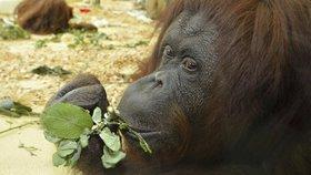 V rakouské zoo zemřela orangutanka Nonja, první opice na světě s vlastním účtem na facebooku