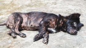 Psy i lidi ohrožují nové kmeny psí chřipky (ilustrační foto)