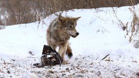 Vlkům se v zamořené zóně Černobylu nebývale daří