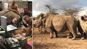 Vědci odebírají vajíčko samici nosorožce jižního bílého v polské Zoo Chorzow.