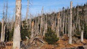 """""""Kůrovcová kalamita je nepochybně největší od dob Marie Terezie. Kůrovec začal žrát hospodářské lesy, kde se mnohdy nezasahovalo, ač se mělo,"""" uvedl Richard Brabec (ANO)."""