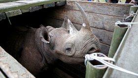 Samice nosorožce stojí v přepravním boxu před transportem do národního parku v Nairobi v Keni.