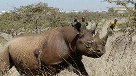 Čtyřletá samice černého nosorožce v národním parku v Nairobi, v Keni.