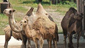 Velbloudi jsou v cirkusech oblíbenými zvířaty (ilustrační foto)