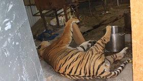 Na místě byl nalezen čerstvě zabitý tygr.