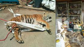 Bestiální byznys s tygry: Zastřelené šelmy vařili 5-12 dní, za maso, kůži a drápy inkasovali statisíce. Berousek a dva kumpáni skončili ve vazbě