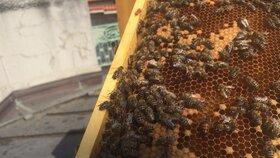 Každý úl má svou matku - lidmi trochu pomýleně označovanou za královnu. Ta je na první pohled odlišná od ostatních včel svým vzrůstem i zabarvením. Na fotografii lze rozeznat větší a do oranžova zabarvenou včelu. Právě to je včelí matka, jejíž existence je pro život a fungování úlu klíčová.