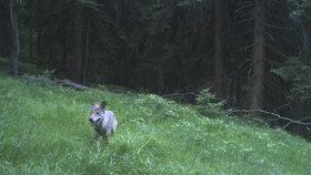 Fotopast v Krkonoších v létě 2018 zachytila vlka.