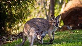 Manželský pár při krmení klokanů napadl téměř dvoumetrový samec.