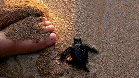 Tři stovky mrtvých ohrožených želv našli v sítích mexičtí rybáři (ilustrační foto)