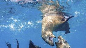 Úřady připomněly, že v minulosti se vyskytly případy, kdy lidé zranili nebo zabili lachtany v důsledku rozhořčení nad klesajícími stavy ryb, píše BBC. (Ilustrační foto)