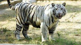 Klece pro lidi dostane v zoo v Novém Dillí hlavně výběh bílých tygrů.