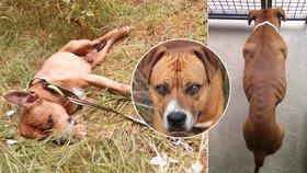 Dixi málem zemřel vyčerpáním, když se snažil vrátit za majitelem, který se ho zbavil: Psího miláčka už můžete adoptovat.