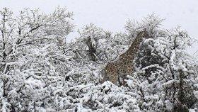 Jižní Afriku překvapil sníh, divoká zvířata se musí brodit vrstvami sněhu