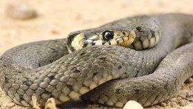 Hurikán Florence může po USA rozšířit jedovaté hady.