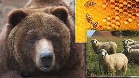 Na Vsetínsku potrhal medvěd ovce a zničil včelí úly