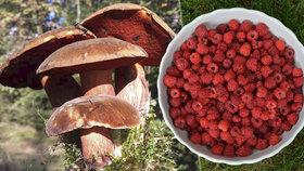 Češi loni nasbírali lesní plodiny za 6,6 miliardy korun.