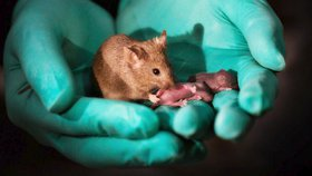 Takto vypadají myši, které mají dvě matky a žádného otce