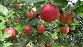Jablka jsou plná prospěšných bakterií
